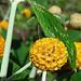 Foto: Oranje Bal Vlinderstruik