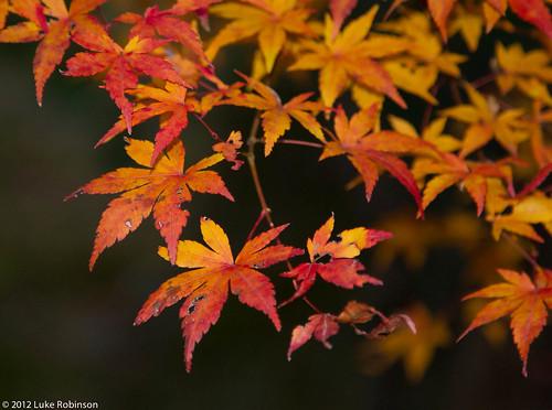 Autumn leaves, garden of the Tenryuji Temple, Kyoto