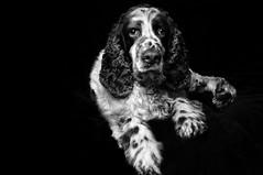 animal, english setter, dog, boykin spaniel, pet, field spaniel, monochrome photography, setter, russian spaniel, english cocker spaniel, spaniel, english springer spaniel, monochrome, carnivoran, black-and-white,