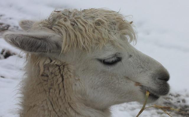 Alpaca  futtert Heu , und frisst auch vorsichtig aus der Hand. On Explore, 2013-02-16, #260.