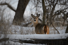 Deer_41882.jpg by Mully410 * Images