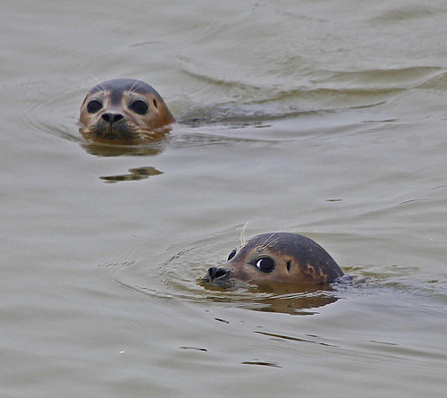 Common Seal Sandwich Bay by Kinzler Pegwell