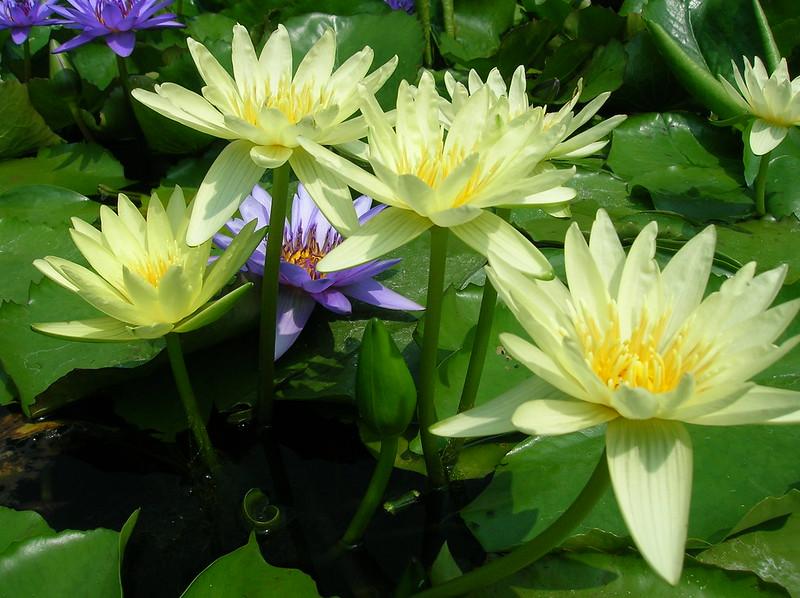 Nymphaea 'Yellow Dazzler'  ( giallo-limone)
