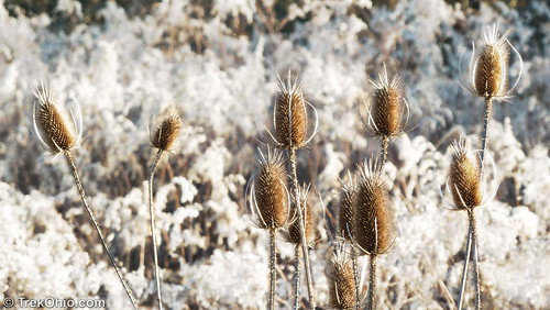 Teasel against goldenrod fluff