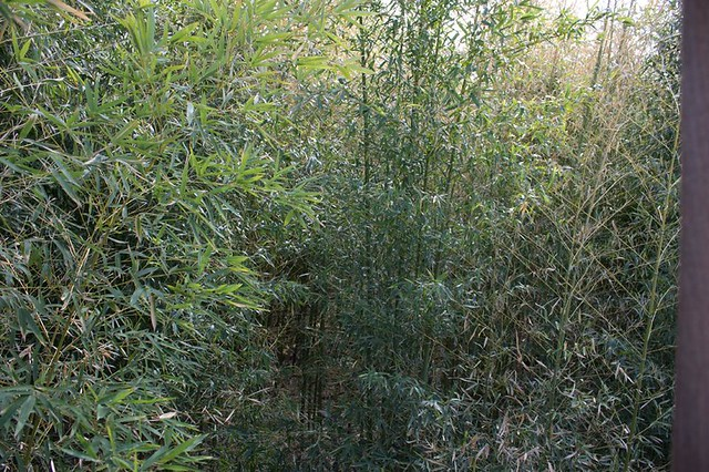 Protective Bamboo