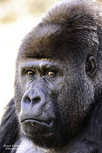 zoo gorilla florida miami ngc silverback metrozoo miamizoo miamimetrozoo lowlandsgorilla zoomiami gorillalowlands