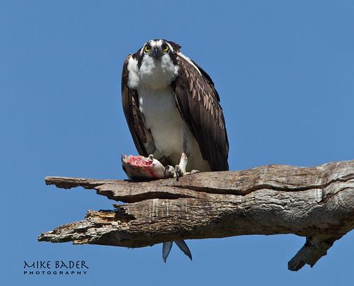 birds raptors osprey avian birdsofprey floridawildlife floridabirds circlebbarreserve