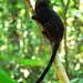 Primate Saguinus nigricolis_05_