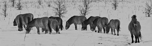 Chernobyl's Przewalski's horses