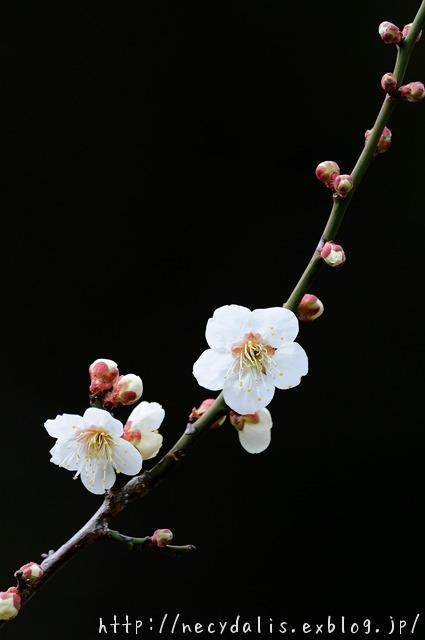 ウメ [Prunus mume]...