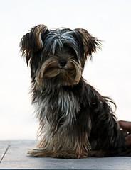 dog breed, animal, dog, schnoodle, pet, tibetan terrier, australian silky terrier, vulnerable native breeds, morkie, miniature schnauzer, affenpinscher, carnivoran, terrier,
