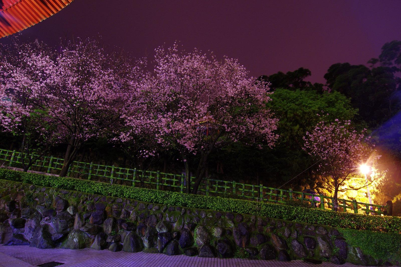 =夜色桜天元=