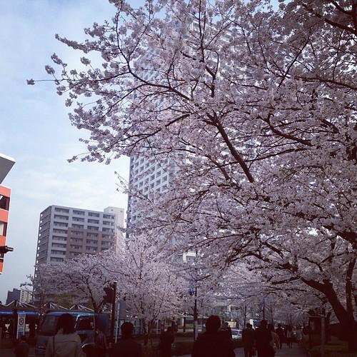 来週末は葉桜も無理かな?