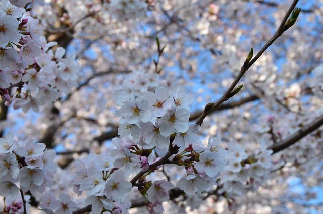 CherryBlossom_7