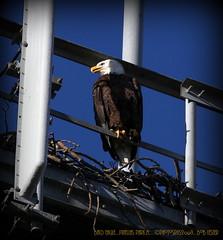 2013-11-18_ Bald Eagle,Pinellas Park,Fl._IMG_0252_