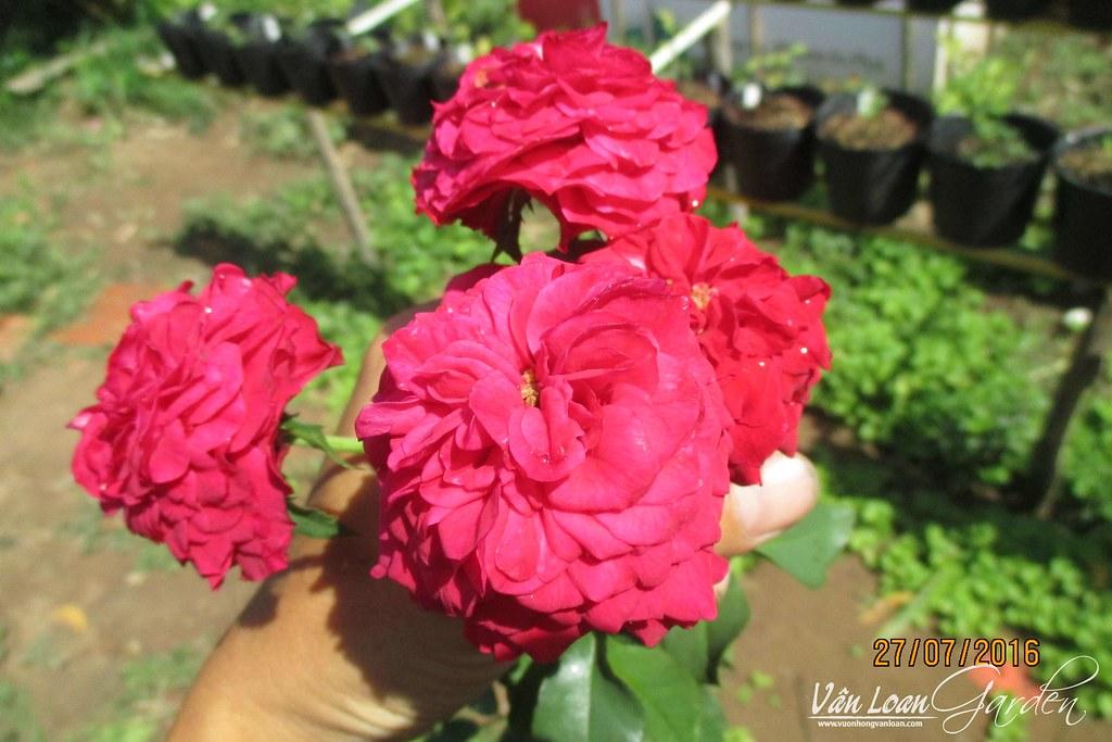 hong leo mong thi (1)-vuonhongvanloan.com
