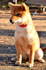 dingo(0.0), puppy(0.0), street dog(0.0), shikoku(0.0), dog breed(1.0), animal(1.0), akita inu(1.0), dog(1.0), shiba inu(1.0), pet(1.0), mammal(1.0), finnish spitz(1.0), korean jindo dog(1.0), norwegian lundehund(1.0), icelandic sheepdog(1.0),