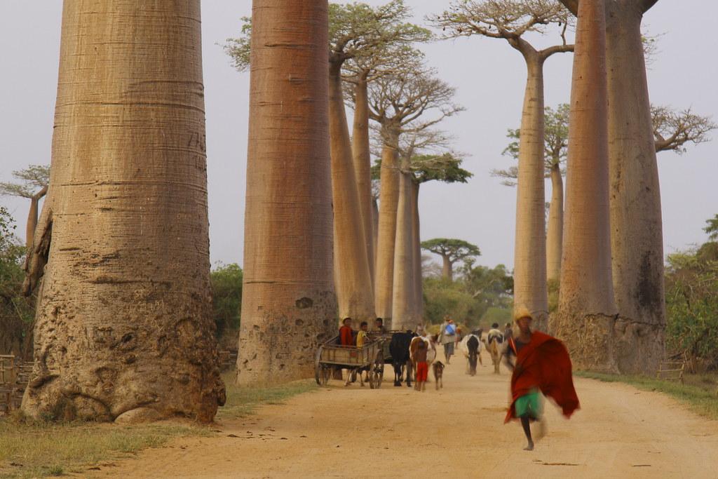 allée baobab madagascar