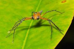Male Lynx Spider (Hamadruas sp., Oxyopidae)
