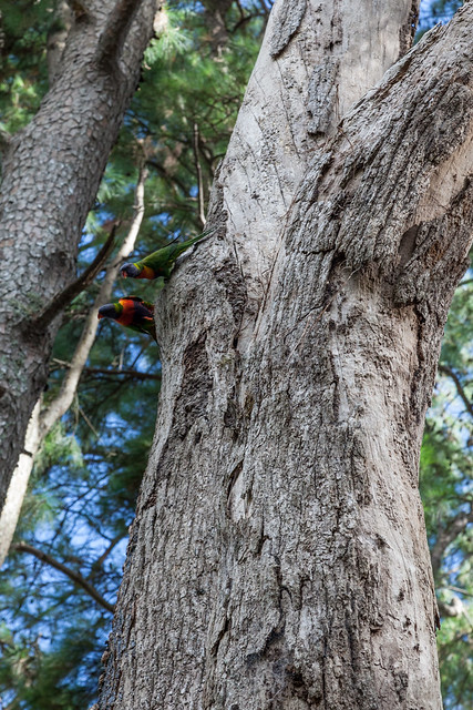 Pair of Rainbow Lorikeets Nesting in a Dead Tree