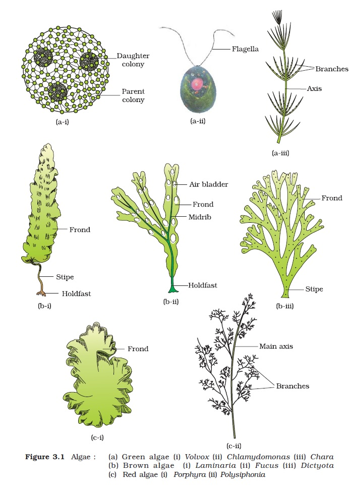 Ncert class xi biology chapter 3 plant kingdom aglasem schools ccuart Image collections