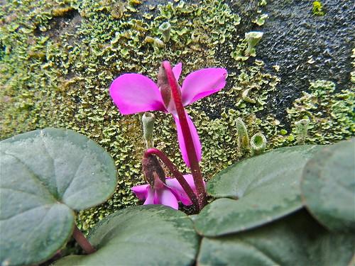 Rock Garden Cyclamen in Flower by Irene.B.