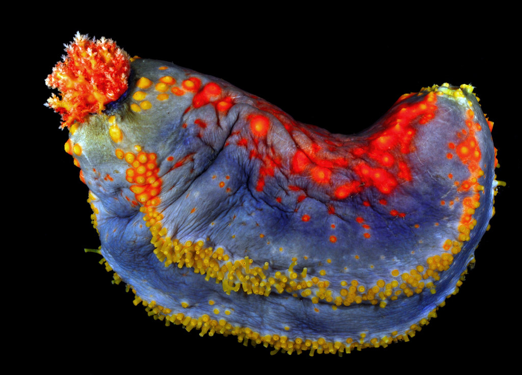 Dorable Sea Cucumber Anatomy Pattern - Anatomy And Physiology ...