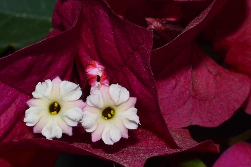 Bougainvillea flower - Flor de buganvilla