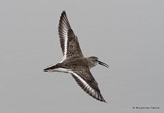 Shorebirds in flight, France/Spain