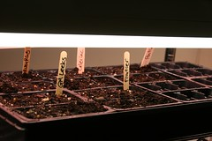 first tray of seedlings-to-be 001