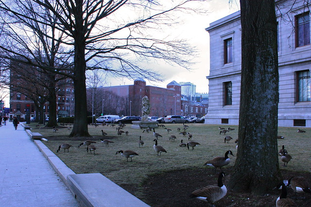 Geese on the MFA lawn