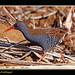 Rascón común o europeo  (Rallus aquaticus) by eb3alfmiguel