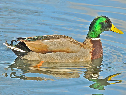 Mallard in the Park by Irene.B.