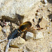 Small photo of Bombyliidae. Bee fly sp.