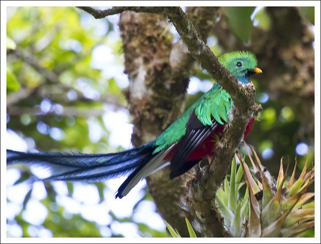 Monteverde Bird 3 (Quetzal)