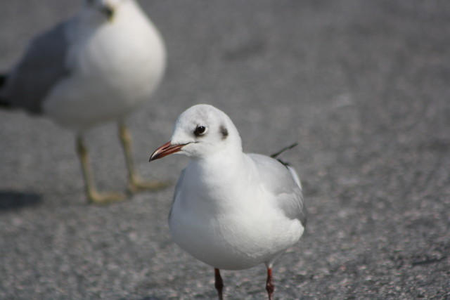 Black-headed Gull - Maryland