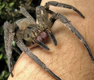 Veneno-de-aranha-brasileira-e-melhor-do-que-Viagra