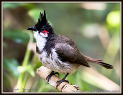 The Red Whiskered Bulbul - The Drenched Look....