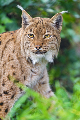 Lynx in the vegetation by Tambako the Jaguar
