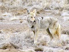jackal(0.0), kit fox(0.0), animal(1.0), canis lupus tundrarum(1.0), czechoslovakian wolfdog(1.0), gray wolf(1.0), red wolf(1.0), mammal(1.0), fauna(1.0), wolfdog(1.0), saarloos wolfdog(1.0), coyote(1.0), wildlife(1.0),