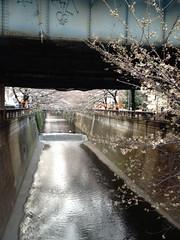 130318中目の桜