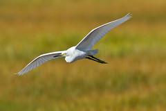 great egret(0.0), white stork(0.0), animal(1.0), prairie(1.0), wing(1.0), fauna(1.0), heron(1.0), beak(1.0), bird(1.0), flight(1.0), wildlife(1.0), egret(1.0),