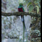 Quetzal resplendissant -Resplendent Quetzal