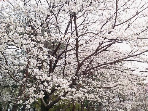 大宮公園の桜 氷川神社側の入口の近く
