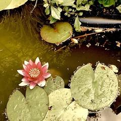 Blühende Seerose im Gartenteich.  #seerose #gartenteich #garten #gartenliebe