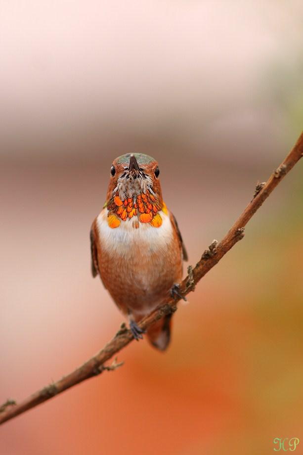 Allen's Hummingbird 010613-3