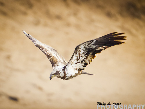 Juvenile Bald Eagle by Ricky L. Jones Photography