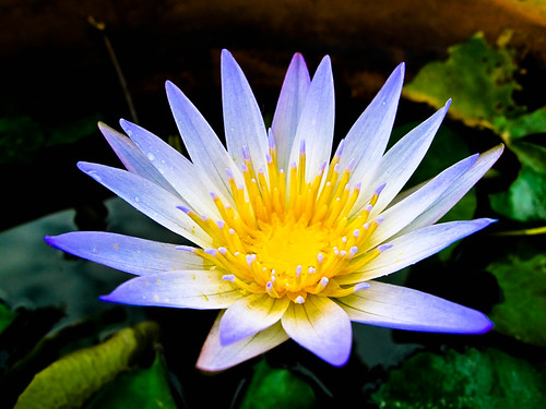 IMG_0060 Waterlily