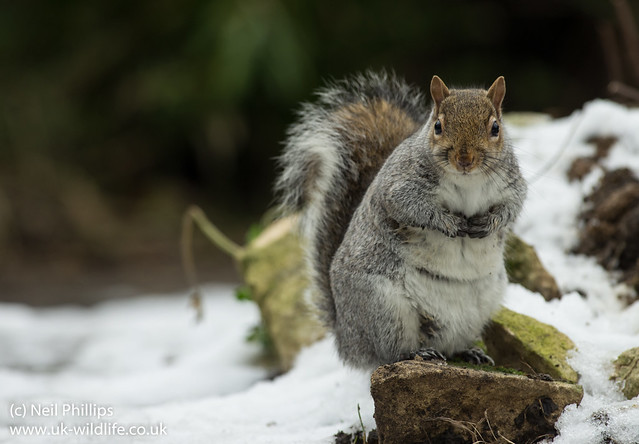 grey squirrel in snow 4