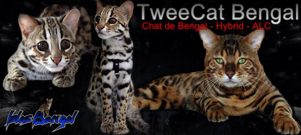 TweeCat Bengal & Islas Bengal pour de magnifiques chat de bengal, hybride ou ALC